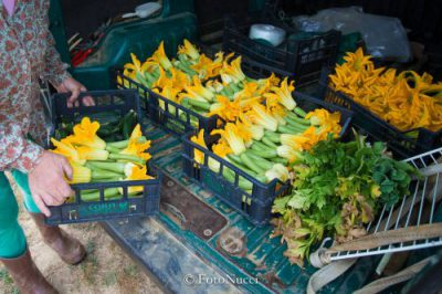 raccolta di zucchine