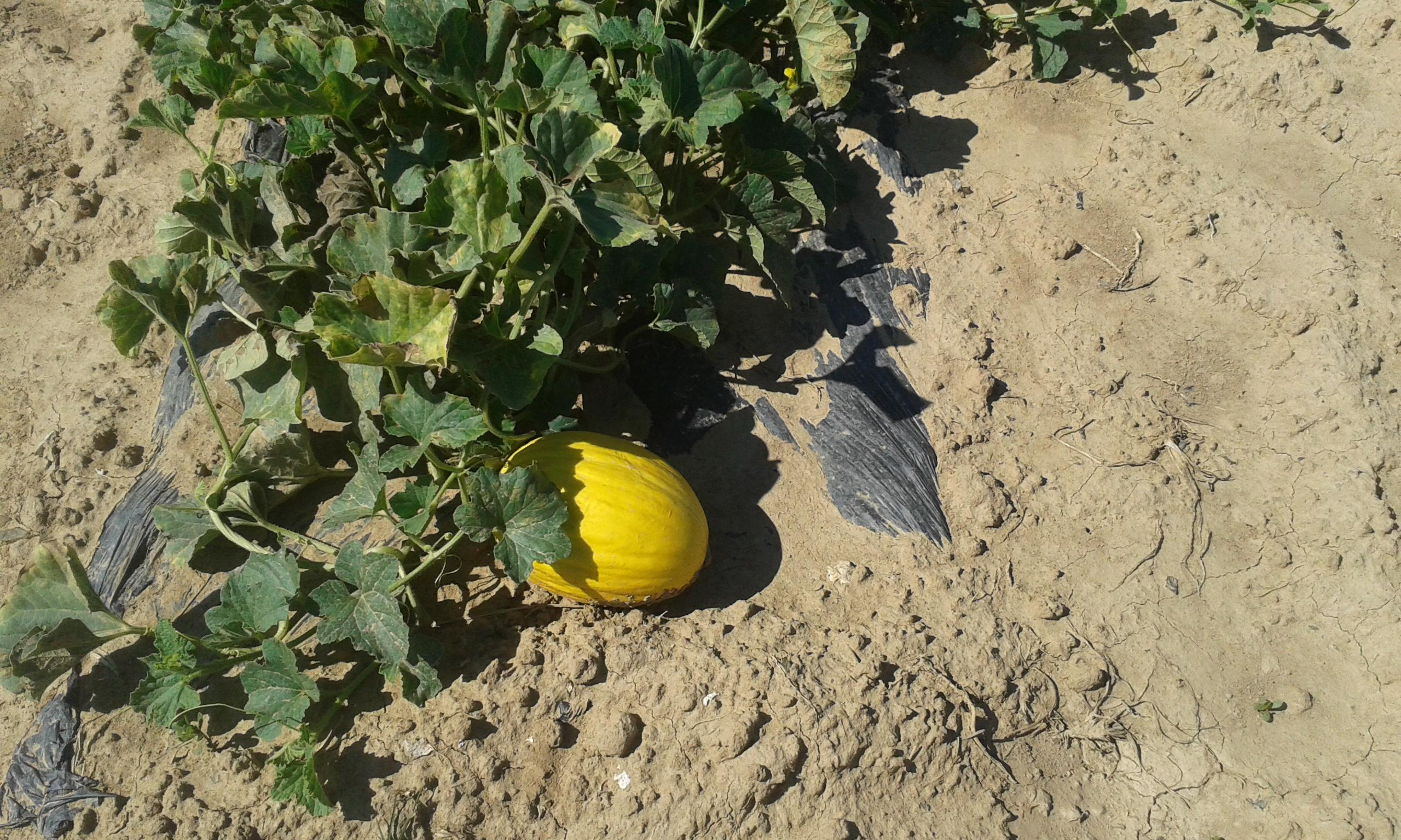 piante di melone