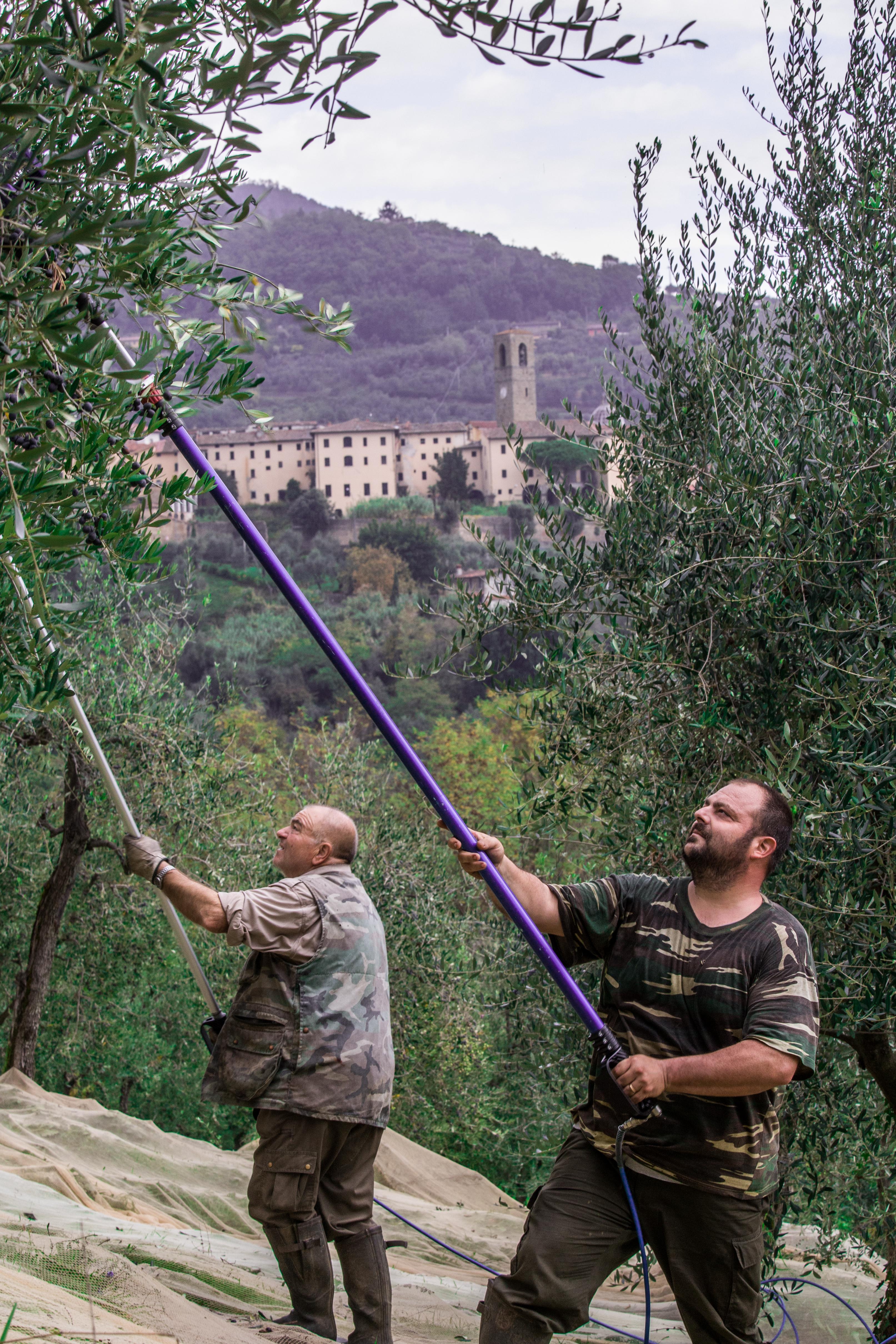 Raccolta meccanica olive